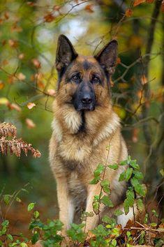 German Shepherd - TownandCountrymag.com