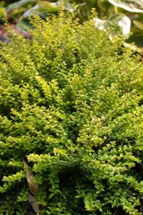 Both yellow and green forms make excellent topiary. Small Flowers, White Flowers, Border Plants, Miniature Trees, Landscaping Plants, Trees And Shrubs, Twiggy, Topiary, Horticulture