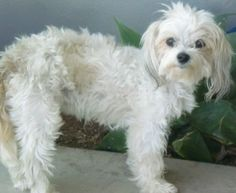 """((SUPER URGENT)) ***MUST BE OUT OF SHELTER BY 8:30AM ON FRIDAY-JUNE 21***Beautiful Lima, a Maltese mix who is not yet three years of age, appears to be the type of dog who would be quickly snatched up from an animal shelter. But, """"Lima"""", ID# A1399766, is already on death row..The staff described this little beauty as a """"sweet fluff ball.""""  Please help Lima have the chance for a happy future & share her information  Shelter phone (213) 485-0214 -  South L.A. Animal Care & Ctrl Ctr (888)…"""