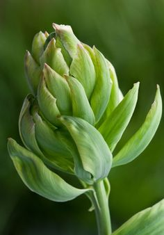 "Sarah Raven's top new tulips - Telegraph: 'Brooklyn', one of the bizarre new 'artichoke' tulips. ""It looks great planted with green salads, such as mizuna and rocket,"" says Sarah."