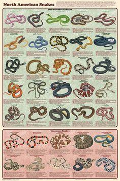 Non & venomous snakes native to North America ... found here in SC