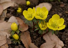 Winterling / winter aconite (Eranthis hyemalis)