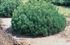 Mugo Pine Varieties: Information About Mugo Pine Trees - Mugo pines are a great alternative to junipers for gardeners who want something different in the landscape. Find out about caring for mugo pines in this article and see if this is something you would like to try in your garden.