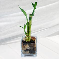 Bamboo garden helps you to pursue gardening, ornament home and then at the same time, has got some importance in Feng-shui as well. lucky bamboo is considered the best plant for do something Feng-shui cure for your home.   #luckybamboofengsui #luckybamboo #indoorplant #luckybamboocare #homemade #luckybambooideas