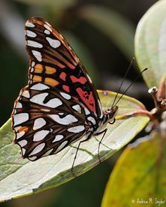 Mexican Silverspot Butterfly: Photo by Andrew M. Snyder