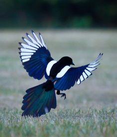The magpie~Such beautiful birds! Pretty Birds, Beautiful Birds, Animals Beautiful, Cute Animals, Small Animals, Exotic Birds, Colorful Birds, Pie Bavarde, Black And White Birds