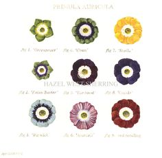 Primula auricula has to be the flower of the moment for me. Neat colourful, early Spring jewels. This illustration is by Hazel West-Sherring