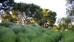 Jardín Madrid. Junio 2011 | Lavandula officinalis, Teucrium fruticans, Pinus pinea, Quercus suber |