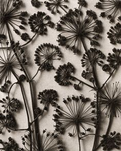 by Karl Blossfeldt Karl Blossfeldt, Patterns In Nature, Textures Patterns, Print Patterns, Fleurs Diy, Motif Floral, Of Wallpaper, Dried Flowers, Real Flowers