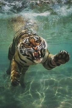 Tiger = ROAR!   by Diego Cevallos Martinez