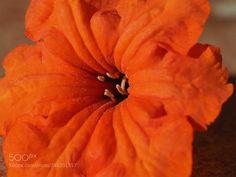 Cordia subcordata (zezanneb) #E-M1MarkII #macro #photo #insect #nature
