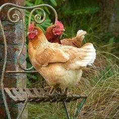 French chicks