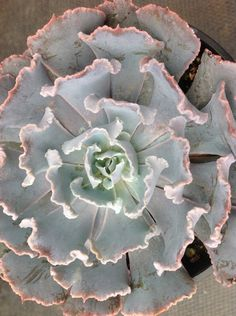Succulent plant, Echeveria sharia a cv. Truffles forms rosettes of fleshy up-curving leaves with very crinkly edges. by SucculentBabies on Etsy https://www.etsy.com/listing/158697946/succulent-plant-echeveria-sharia-a-cv
