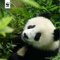 Weetje: de zwangerschap van een reuzenpanda in het wild duurt gemiddeld 21 weken.
