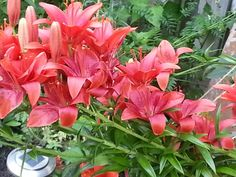 Tiger Lilly's