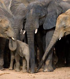 Elephant calf under herd protection at Yankari Game Reserve, Nigeria