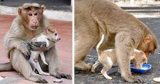 Este mono adoptó un cachorro, lo defiende de los perros callejeros y le deja comer primero | Bored Panda