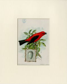 "1898 Scarlet Tanager Print from the American Singer Series Sewing Machine Song Bird Card Set - J.L. Ridgway Antique Bird Print Matted 8x10"" by AntiquePrintBoutique on Etsy"