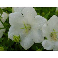 Campanula carpatica 'Perla White'. Klokjesbloem, wit bloeiend. Plants, Plant, Planets