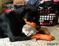 Rottweiler loves the cat so much Cat: Halp meh. Puppies And Kitties, Cats And Kittens, Pet Dogs, Dog Cat, Animals And Pets, Funny Animals, Cute Animals, Rottweiler Funny, Rottweiler Mix