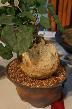 https://flic.kr/p/MNZt2A | Pyrenacantha malvifolia  - CSSA 2014.JPG
