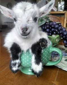Cute cup of goat! :) adorable...I want one
