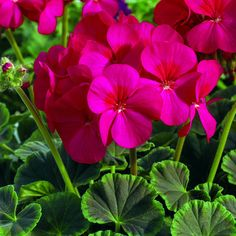 100 Geranium Seeds Cola Purple