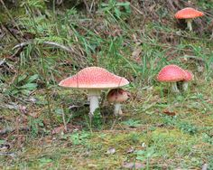 Local toadstools, seemingly straight from a fairytale.