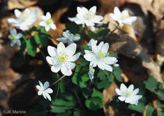 Rue-anemone is a delicate woodland perennial growing up to 9 inches tall Spring Wildflowers, Spring Flowers, Wild Ginger Plant, Colorful Flowers, White Flowers, Virginia Bluebells, Wholesale Nursery, Pink Petals, Flower Stands