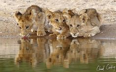 Lion cubs, drinking water.