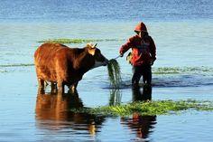 ÇALDIRAN,VAN Van'ın Çaldıran ilçesinde yaşayan vatandaşlar, büyükbaş hayvanlarını her mevsim Kaz Gölü Çayı'ndaki yeşil otlarla besliyor.