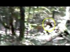 #32 of 72 South Jersey Sasquatch films Auburn Sasquatch behind Woodpile