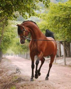 Beautiful Arabian Horses
