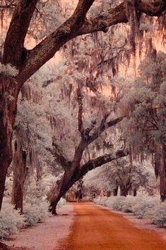 Savannah . -  Savannah