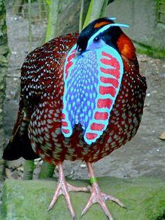 temminck tragopan pheasant | temmincks tragopan | Ornamental Pheasants