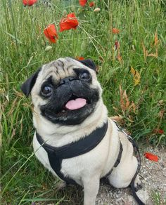 All about the Pugs dog breed, care, dog training, nutrition. #wagpets #pugs