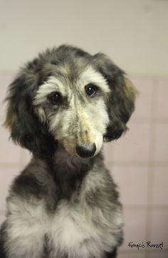 Afghan Hound - cute but awkward 🐾🐾 Afghan Hound Puppy, Hound Dog, Hound Puppies, Irish Wolfhound, Whippet, Happy Dogs, Beautiful Dogs, Beautiful Creatures, Poodle