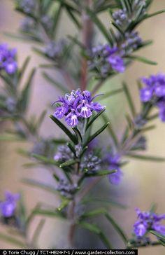 Rosmarinus officinalis 'Fota Blue'