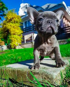 Yugen, a Blue Fawn French Bulldog Puppy❤ #Buldog #frenchbulldogs