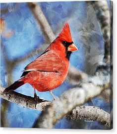 Red Cardinal Square Canvas Print by Christina Rollo