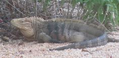 "Cayman Brac Rock Iguana, the largest (20 lbs) known endangered Rock Iguana in the Caymans named ""S"" died 15 June 2012.  He was believed to be basking in the sun on the warm road, and hit by a speeding motorist.    ""S"" was known to sit and guard the baited area where the conservationist captured, tagged, and released Iguanas back into the wild.      http://www.ieyenews.com/2012/06/cayman-islands-largest-brac-rock-iguana-killed-by-car/"