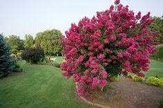 Plant crepe myrtle for its fast-growing, multi-stemmed, colorful charm. Garden Trees, Trees To Plant, Crepe Myrtle Trees, Online Plant Nursery, Buy Plants Online, Fast Growing Trees, Plant Guide, Deciduous Trees, Small Trees