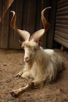 Girgentana buck goat. incredible!