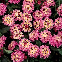 Parks Wholesale Plants - Landmark Rose Glow Lantana starts out orangy-yellow with a pink tint and then to a deep rose. Flowering Bushes, Perennial Flowering Plants, Trees And Shrubs, Lantana Flower, Lantana Plant, Outside Plants, Porch Plants, Lantana Camara, Beautiful Flowers Wallpapers