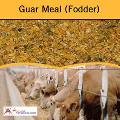 Processed Guar Meal (Fodder) is a high protein animal and poultry feed stuff. It is processed by toasting at high temperature to remove natural trypsin inhibitor. For best quality Guar Meal, visit at http://www.avlasthydrocolloids.com/guar-meal-fodder/.
