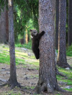 Mischievous: A baby bear tries to escapes up a tree
