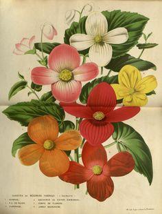 Begonia Varieties: Hermine, De Puydt, Eldorado, etc. from Van Houtte Botanical Prints Vintage Botanical Prints, Antique Prints, Botanical Art, Vintage Art, Illustration Botanique, Plant Illustration, Botanical Illustration, Art Floral, Impressions Botaniques