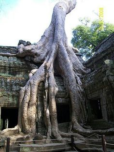 Ankor wat -Cambodja 2008 We were here in Not sure of the growth rate of these trees. Simply Beautiful, Beautiful Places, Beautiful Pictures, Greatest Mysteries, Phnom Penh, Angkor Wat, Greatest Adventure, Cambodia, Biology