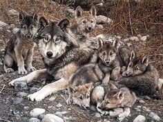 Nacen los tres primeros cachorros en el Centro del lobo ibérico de Castilla y León | SoyRural.es