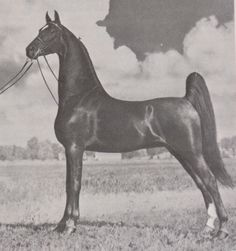 American Saddlebred stallion Signal Hill Indian stood in Ohio for many years (Truly Genius X Star of Denmark Lea by Ridgefield's Denmark)